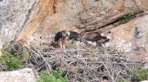 Adult Bonelli's Eagle Standing On Edge Of Nest  With 2 Chicks Standing To The Side. One Chick Has Long Piece Of Carrion Stuck In It's Throat With End Sticking Out Of It's Beak, The 2nd Chick Defecates Then Stretches It's Wings, Then The Adult Changing It's  Position .
