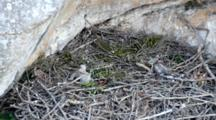 Two Bonelli's Eagle Chicks ( Approximately 5 Days Old ) Sitting In Nest, Moving Their Heads Around.