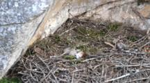 Two Bonelli's Eagle Chicks ( Approximately 5 Days Old ) Laying Close Together In Nest, One Is Moving It's Head Around The Second Chick Is Sleeping