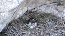 Adult Bonelli's Eagle Sitting In Nest With Carcass Laying In Front Of It, One Of Two 4 Day Old Chicks She Is Covering Can Be Seen Moving Under The Front Of  The Adults Breast Feathers
