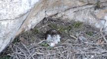 Adult Bonelli's Eagle Sitting In Nest With Carcass Laying In Front Of It, The Head Of One Of The Tiny Chicks Can Be Seen On The Left With The 2nd Chicks Rear Sticking Out From Under The Adults Breast Plumage