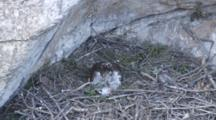 Adult Bonelli's Eagle Sitting In Nest With Carcass Laying In Front Of It, The Head Of One Of The Tiny Chicks Can Be Seen On The Left With The 2nd Chick Rear Sticking Out From  Under The Adults Breast Plumage