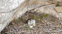 Adult Bonelli's Eagle Sitting In Nest With Carcass Laying In Front Of It, The Head Of One Of The Tiny Chicks Can Be Seen On The Left Preening It's Down, With The 2nd Chick Rear Sticking  Out From  Under The Adults Breast Plumage