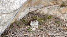 Adult Bonelli's Eagle Sitting In Nest With Carcass Laying In Front Of It, The  Chicks Are Moving Around Under Adults Breast Plumage , One Chick Has It's Rear Poking Out.