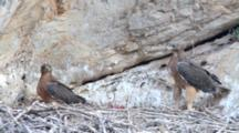 2 Juvenile Bonelli's Chicks ( Approximately 65 Days Old ) In Corner Of Nest, One Is Resting The 2nd Is Standing And Moves Around Nest And Flaps It's Wings As It Jumps In The Air.