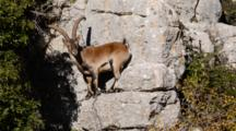 Large Adult Male Spanish Ibex Descending Rock Face To Feed On Shrubs
