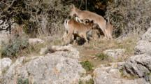Adult Male Spanish Ibex Smelling And Tasting The Air Close To Feeding Female During The Rutting Season.