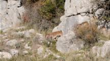 Large Male Spanish Ibex Walking Across Slope Smelling And Tongue Tasting The Air For Females In Heat During The Rutting Season