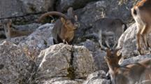 Large Adult Male Spanish Ibex Standing On Rock Face With Neck Outstretched Smelling And Tasting The Air For Scent Of Female In Heat ,Then It Jumps Up Rock Face