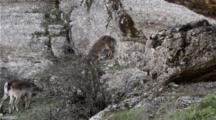 Small Group Of Male Spansh Ibex Grouped Close Together Clashing Horns During Annual Rut