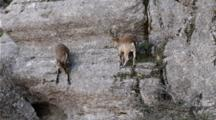 2 Male Spanish Ibex Face To Face On Steep Rock Wall , Both Descend With The Last One Down Nudging The Other In The Rump With It's Horns