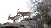 Group Of Male Spanish Ibex Displaying Typical Behavior During The Annual Rutting Season With Males Digging Horns Into The Side Of Other Males In Displays Of Dominance And Strength As Well As One Male Lifting And Pawing  A Foreleg Onto The Back Of Another Male Just In Front Of Him