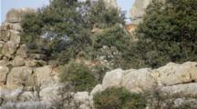 Group Of Male Spanish Ibex  Male Feeding On Leaves Of Tree On Side Of Karst Limestone Rock Face
