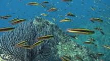 Rainbow Wrasse Highlight Blue Water Over Reef