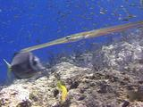 Reef Cornetfish Shadowing  Goatfish