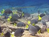 Reef Cornetfish With Yellowtail Surgeonfish