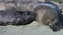 Nursing Elephant Seal Pup