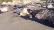 Elephant Seal Bull Travesl Around Harem