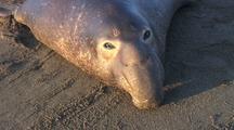 Subadult Male Elephant Seal