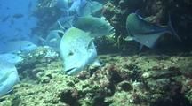Bluespotted Jacks Foraging With Leatherbass
