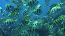 School Of Convict Tang Foraging