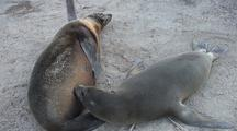 Galapagos Sea Lion Nursing