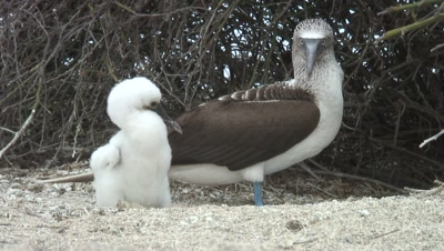 Bluefooted Booby And Chick
