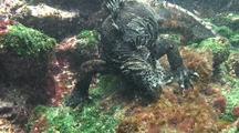 Feeding Marine Iguana