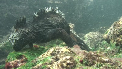 Marine Iguana Feeds On Algae