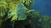 Kelp, Calico Bass