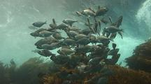 Walleye Surfperch Against Breaking Surge
