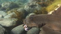 Horned Shark Eating Large Crab
