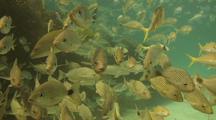 Goatfish School In Sun Near Reef