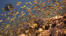 Rainbow Wrasse Feed In Curent