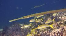 School Of Blue&Gold Striped Snapper With Cornetfish
