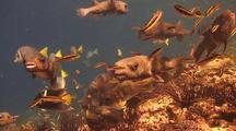 Balloonfish Eating Barnacles