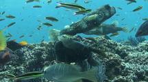 Balloonfish, Triggerfish Eating Barnacles