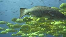 Leopard Grouper Passes Before Porkfish