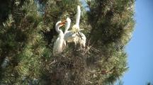 Great Egret Adult And Chicks