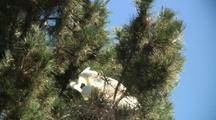 Gret Egret Chicks Feeding