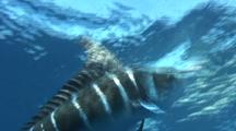 Marlin Feeding On Sardine Ball
