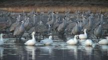 Greater Sandhill Cranes At Dawn