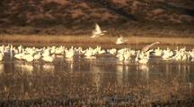 Snow Geese At Dawn