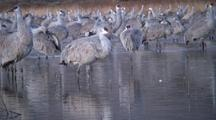Sandhill Cranes Before Dawn