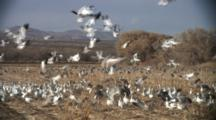 Cranes And Geese Feed In Cornfield