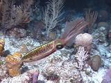Caribbean Reef Squid Swims At Night