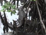 Saltwater Crocodile In Mangroves