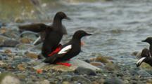 Seabird. Pigeon Guillemots Mate On Beach