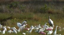 White And Pink  Wading Birds.  Egrets And Spoonbills Fly And Land In A Moving Cascade Wide
