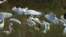 White And Pink  Wading Birds.  Egrets, Ibis And Spoonbills Fly And Land In A Moving Cascade Close Up